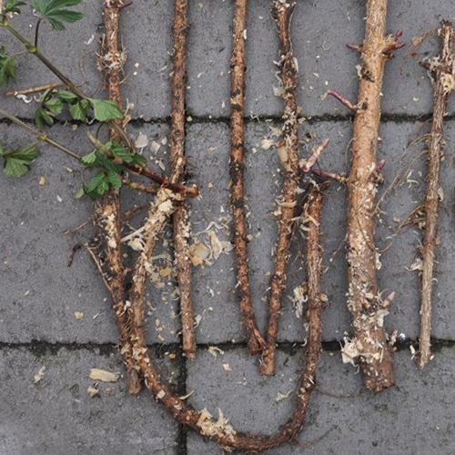Hop rhizomes for hops plant.